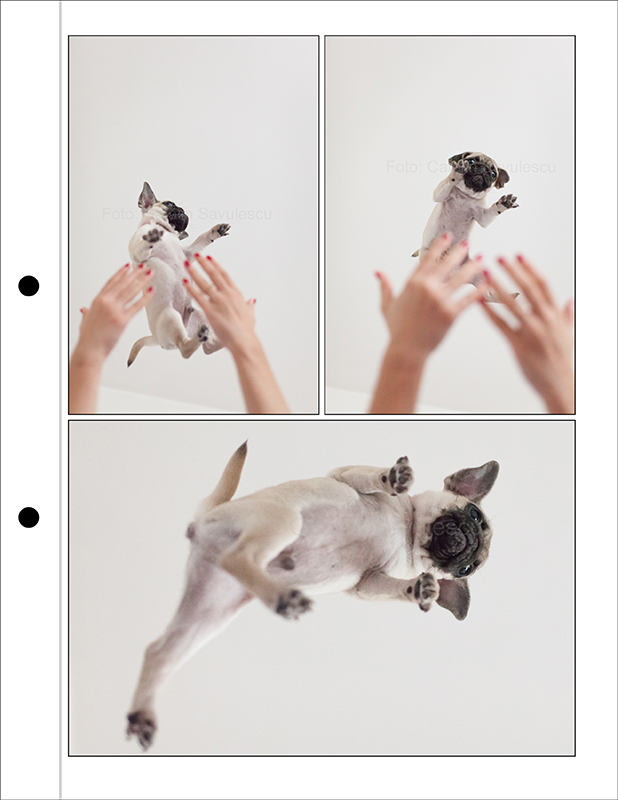 Bugsy-the-flying-pug-web